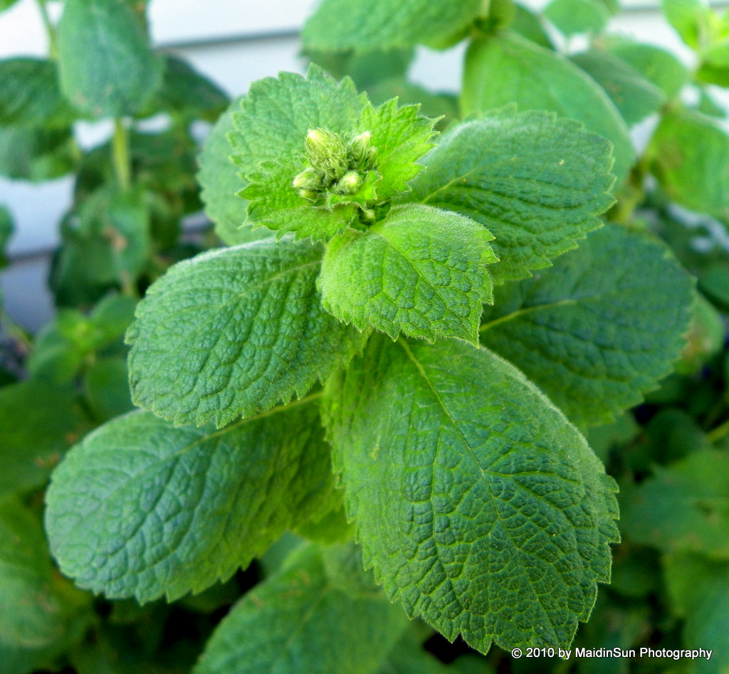 Oregano Oil for Herpes Can Oregano Oil Cure Herpes