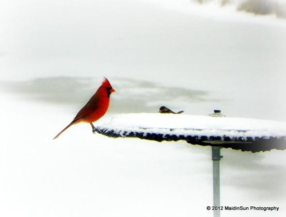 The elusive male cardinal