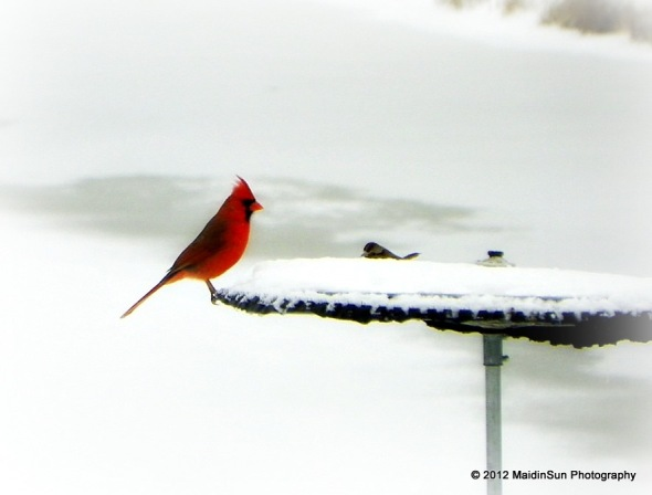 The elusive male cardinal