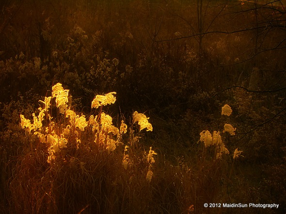 Ornamental grass in the meadow