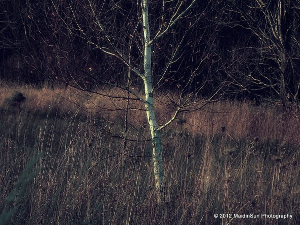 The reality of the birch (is that it's finally lost its leaves).