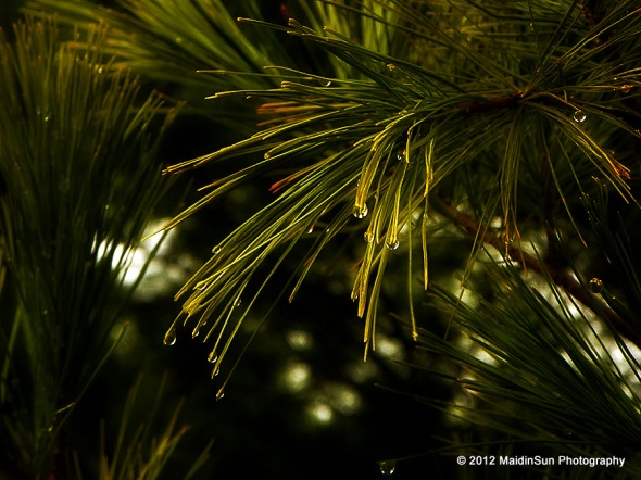 Raindrops in the white pine