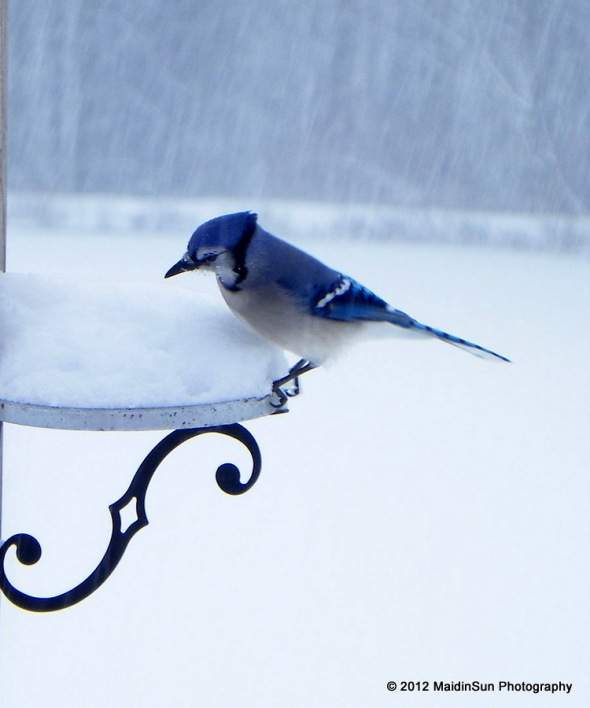 Blue Jay looking for fruit and nuts