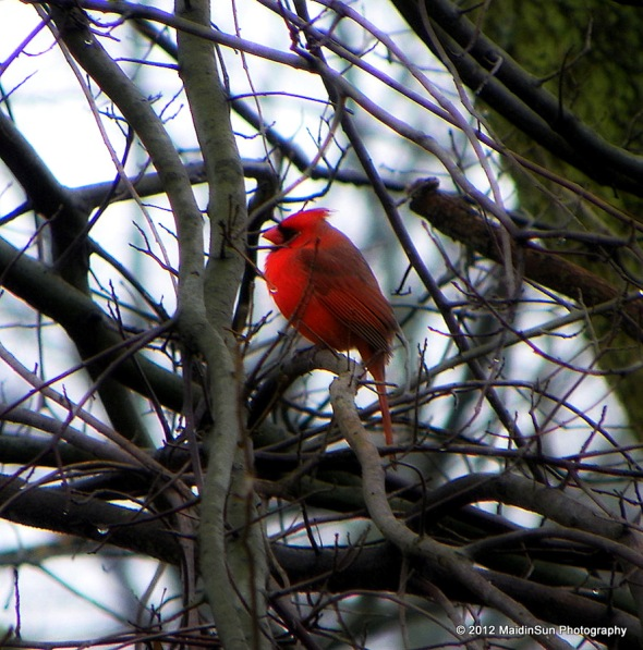 The elusive male cardinal decides to pose