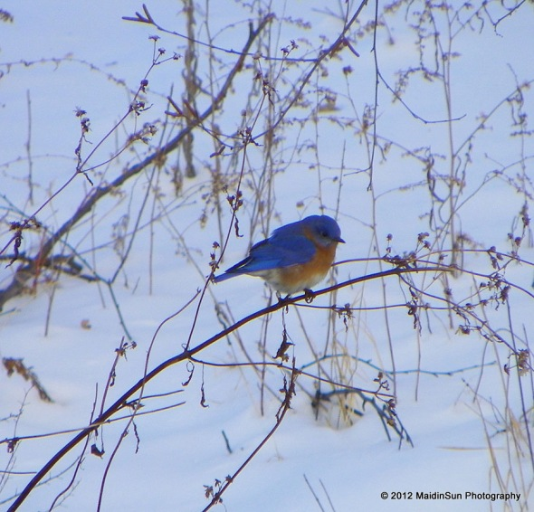 Eastern Bluebird.  Isn't he beautiful?