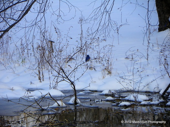 There were several little bluebirds hanging around this open source of water.