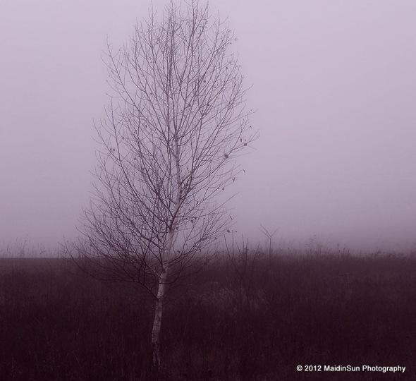 Birch in the mist