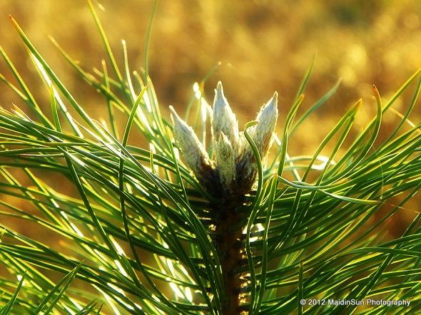 Baby pine, future Christmas tree