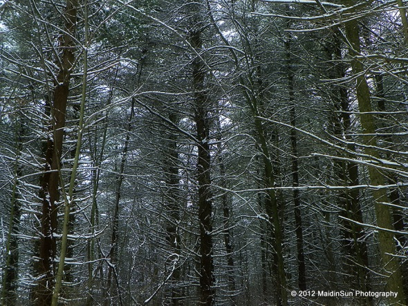 The Coniferous Forest at Quail Hollow State Park