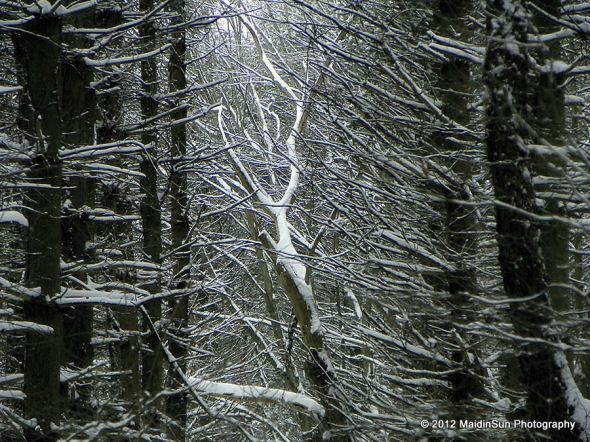 A deciduous trapped among the coniferous