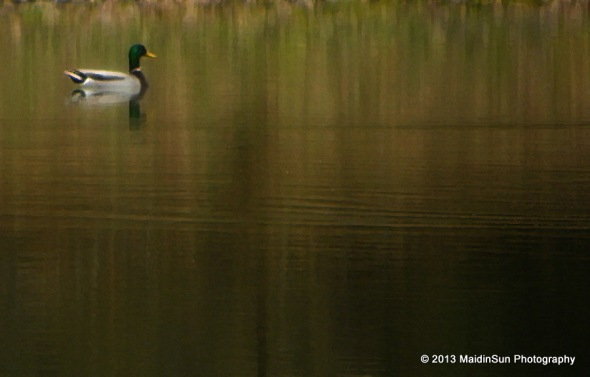 The mallards are permitted to stay and enjoy the pond.