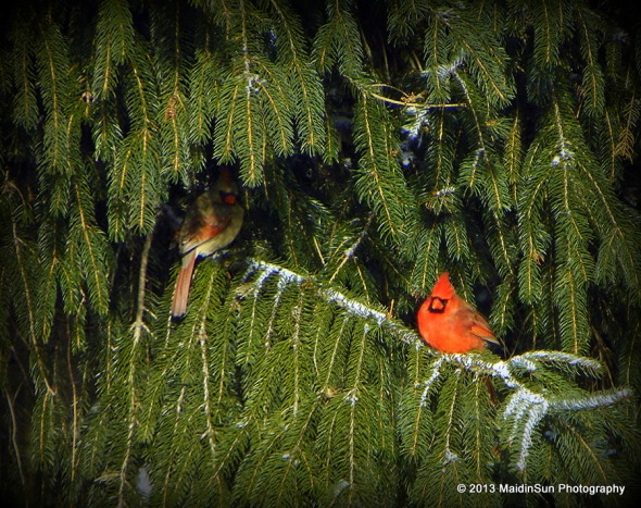 Mr. and Mrs. Cardinal in the spruce tree