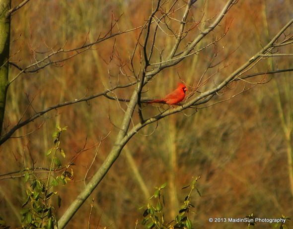 A male cardinal near the house