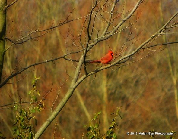 A male cardinal near the house