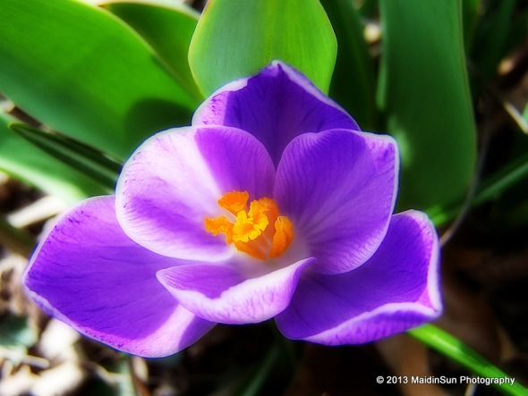 From the archives.  Crocus, Spring 2009.