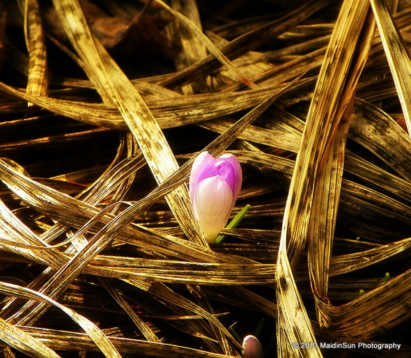 Another crocus rises from the earth