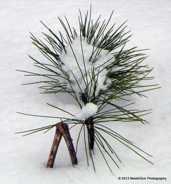 Snow urchin