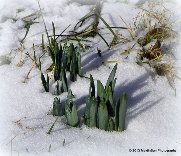 Looks like the daffodils are agreeing with the groundhog when it comes to signs of early spring.