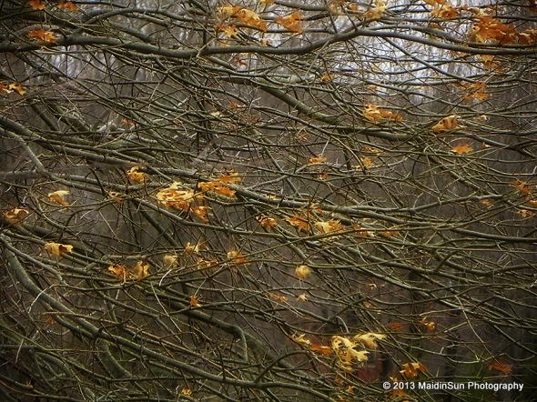 Oak leaves blowing in the wind