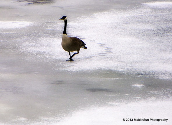 Even the geese are getting into step with spring