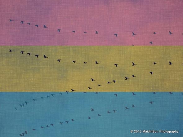 Neopolitan geese