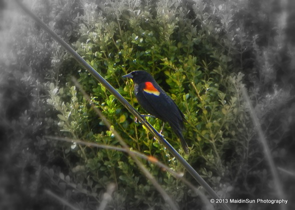 Red-winged Blackbird returns!