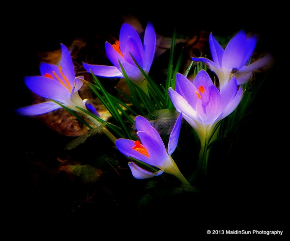 Electric crocuses