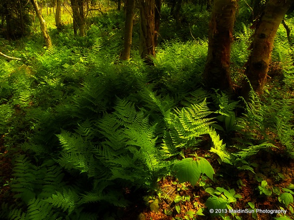 I love the ferns in the woods