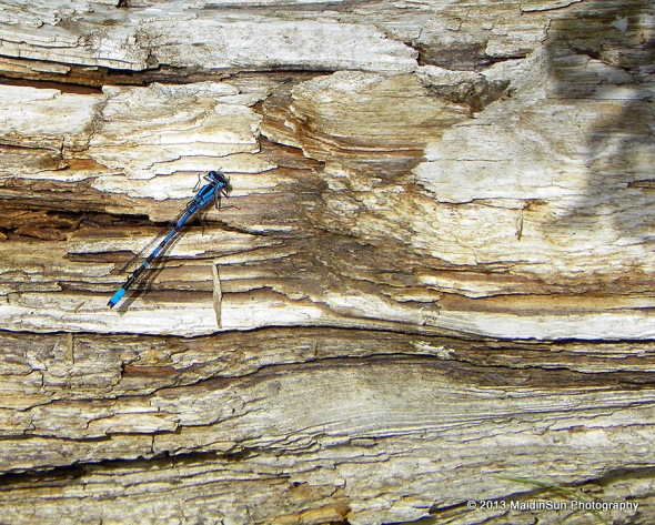 Common Bluetail Damselfly.  I think.