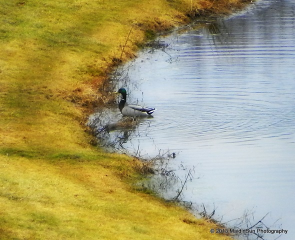 The ducks enjoy the liquidity of the pond