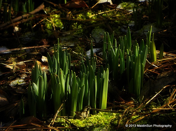 Daffodils are popping up not far from the edge of the pond.