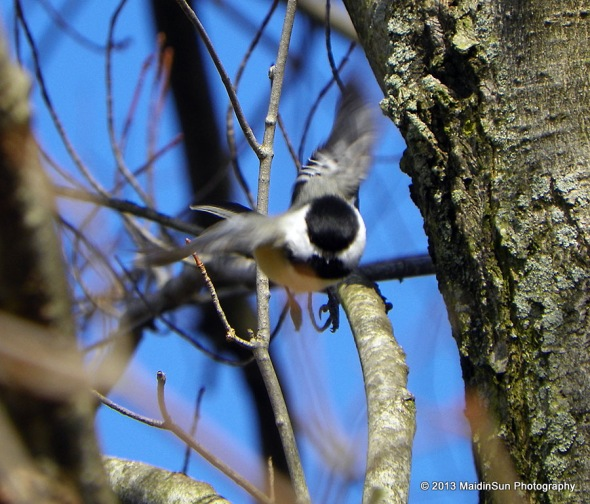This chickadee flew so close to me that I was lucky to catch even this poor photo of him.