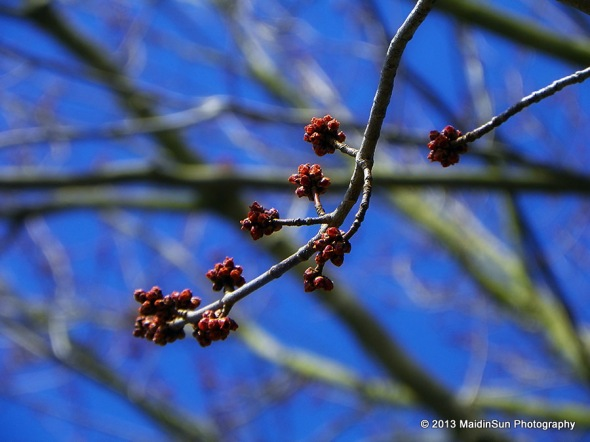 The buds on the trees have been lucky enough to survive the cold nights.