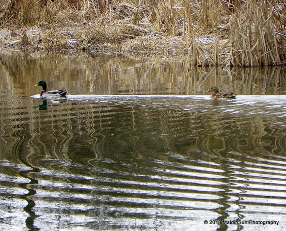 The mallards have settled in
