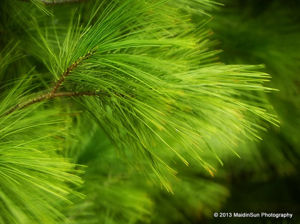 The needles of the White Pine