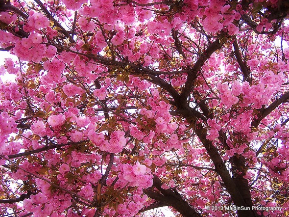 Blossoms on High Street in West Chester, Pennsylvania.  (April 2007)